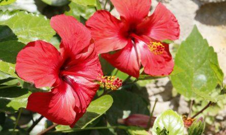 karkade-gibiskusa-cvetki-instrukciya-po-primeneniju-pokazaniya-protivopokazaniya-pobochnoe-dejstvie-opisanie-hibisci-flores-syre-rastitelnoe-cvetki-poroshok-1-2