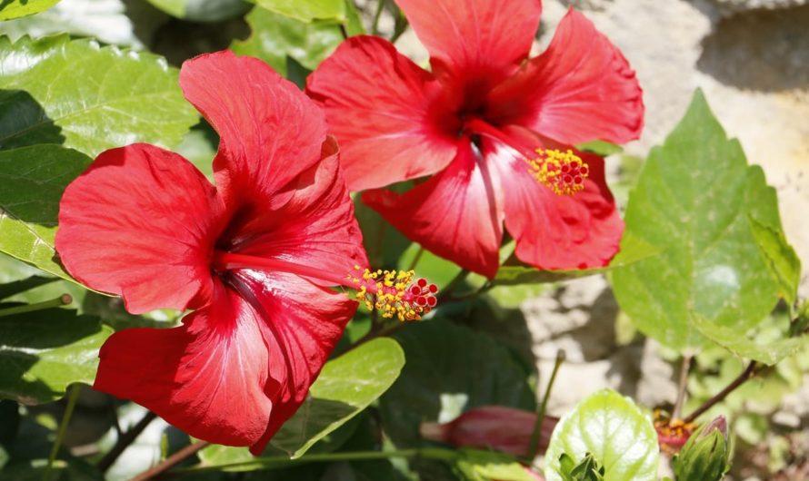Каркаде Гибискуса цветки инструкция по применению: показания, противопоказания, побочное действие – описание Hibisci flores сырье растительное — цветки порошок 1