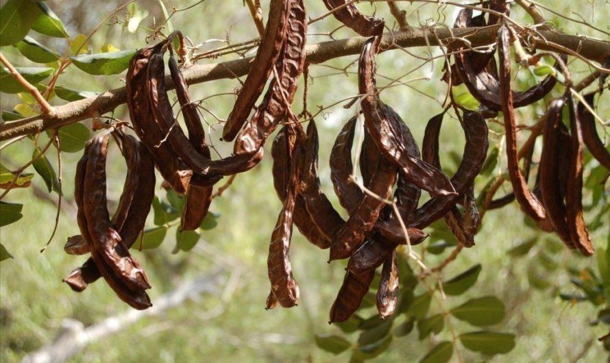Рожковое дерево — польза, свойства, как применять